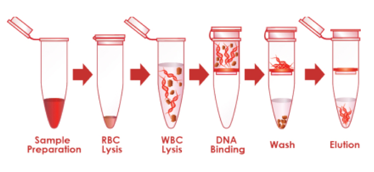 dna extraction The umgc offers dna extraction using a wide range of commercially available  kits, bead beating methods and homebrew protocols developed at the umgc for .